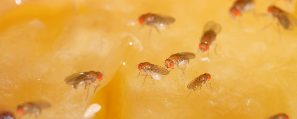 Do It Yourself Pest Control – How to Get Rid of Fruit Flies